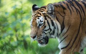 Обои дикая кошка, морда, хищник, тигр