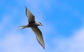 Обои птица, крылья, полет, хвост, небо
