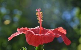 Картинка цветок, макро, свет, розовый, лепестки, гибискус