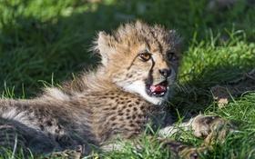 Обои язык, кошка, трава, отдых, гепард, детёныш, котёнок