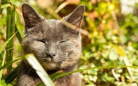 Обои кот, дымчатый, трава