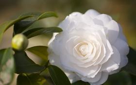 Обои цветок, листва, белая, камелии