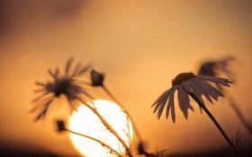 Картинка свет, природа, ромашка