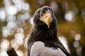 Картинка природа, птица, eagle