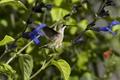 Картинка нектар, растения, птица, колибри, солнечно, цветы