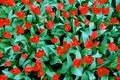 Картинка листья, лепестки, тюльпаны, клумба