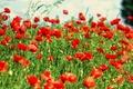 Картинка поле, цветы, маки, местность, боке