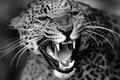 Картинка зверь, кошка, Леопард