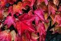 Картинка осень, листья, капли, макро, роса, краски, багрянец