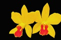 Картинка фон, орхидея, лепестки, цветы