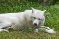 Картинка язык, белый, трава, взгляд, волк, ©Tambako The Jaguar