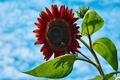 Картинка цветок, небо, облака, пчела, подсолнух, лепестки, насекомое