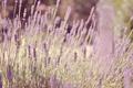 Картинка лаванда, трава, цветы