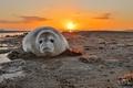 Картинка море, закат, Grey Seal