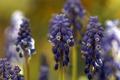 Картинка цветы, макро, Muscari