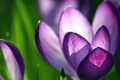 Картинка зелень, цветы, лепестки, лиловые крокусы