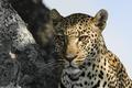 Картинка взгляд, морда, природа, животное, хищник, леопард