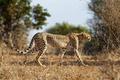 Картинка Cheetah, кошка, гепард, природа