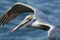 Картинка птица, крылья, клюв, пеликан