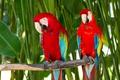 Картинка ветка, пара, окрас, попугаи