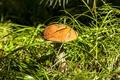 Картинка трава, природа, гриб, подосиновик