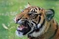 Картинка тигр, животное, хищник, пасть