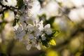Картинка закат, весна, вишня, цветет, вечер, солнечно, макро