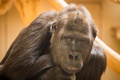 Картинка взгляд, природа, Gorilla