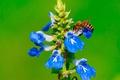 Картинка цветок, природа, пчела, растение, насекомое