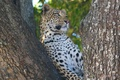 Картинка кошка, взгляд, природа, дерево, хищник, леопард