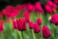 Картинка краски, весна, лепестки, сад, луг, тюльпаны