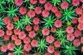 Картинка цветы, растение, Нидерланды, Неймеген, щетинистый кукушкин мох