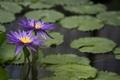 Картинка листья, вода, цветение, водяные лилии, водоем
