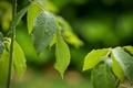 Картинка зелень, листья, природа