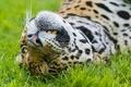 Картинка трава, морда, ©Tambako The Jaguar, ягуар, кошка