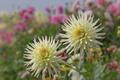 Картинка цветение, бутоны, осень, лепестки, георгин