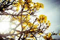 Картинка желтые, дерево, лепестки, цветы, куст