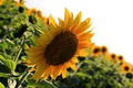 Картинка лето, подсолнухи, цветы, сад