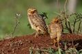 Картинка птицы, две, совы, роющие