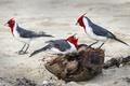 Картинка птица, цвет, перья, семья, гнездо, кардинал