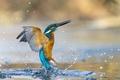 Картинка вода, брызги, птица, зимородок