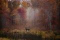 Картинка осень, лес, листья, деревья, озеро, листва, олень