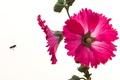Картинка цветы, пчела, насекомое, мальва