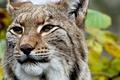 Картинка кошка, животные, взгляд, морда, хищник