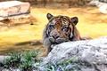 Картинка Cat, Zoo, Суматранский тигр