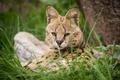Картинка кошка, трава, взгляд, морда, сервал