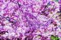 Картинка Virginia, цветение, сад, природа, цветы