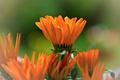 Картинка календула, цветы, яркая, оранжевая
