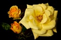 Картинка макро, бутоны, жёлтая роза