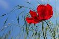 Картинка цветок, небо, трава, мак, лепестки